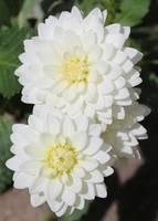 White Dahlias by Carol Groenen