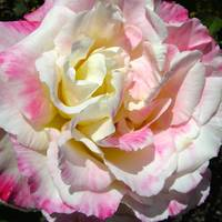 Blushing Rose by Carol Groenen