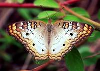 Beautiful Butterfly by Carol Groenen