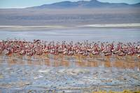 Flamingos feeding - Laguna Colorada