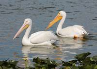 Two Pretty Pelicans