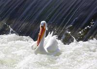Wildwater White Pelican