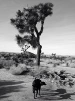 Joshua Tree Shadows