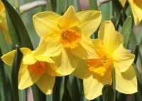 Beautiful Daffodils by Carol Groenen