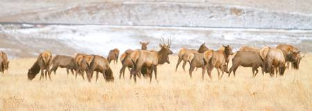 Elk Heard On The Rocky Mountain Foothills Plains