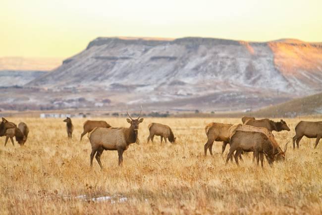 Elk Heard Grazing Rocky Mountain Foothills