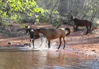 Horses in Oak Creek Canyon