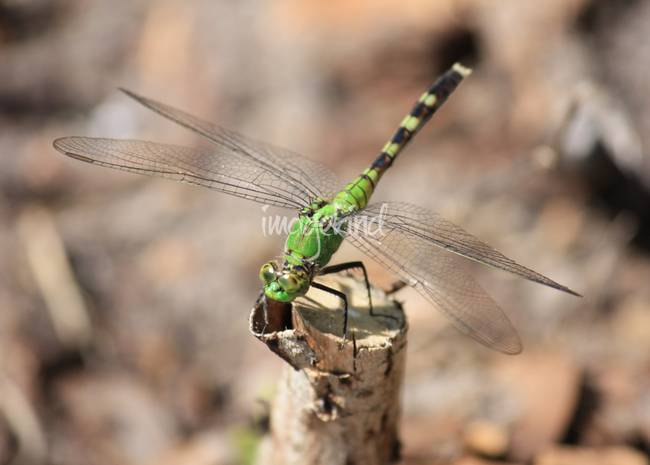 Green Dragonfly with Tan Background