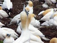 Northern Gannet embrace