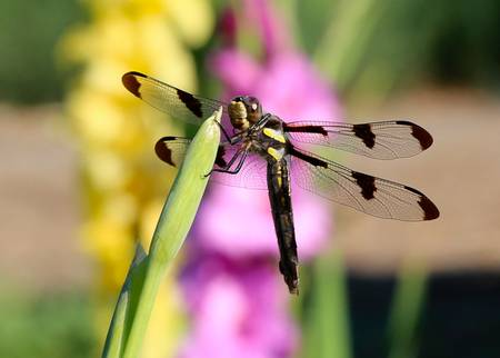 Dragonfly in the Glads