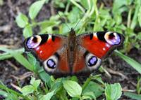 Peacock Butterfly by Carol Groenen