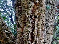 Close  Up Cork  Tree