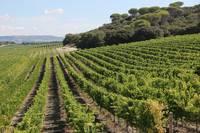 Spanish Vineyard by Carol Groenen
