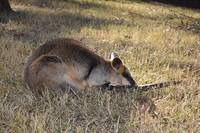 Wallaby in the grass