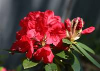 Beautiful red Rhododendron by Carol Groenen