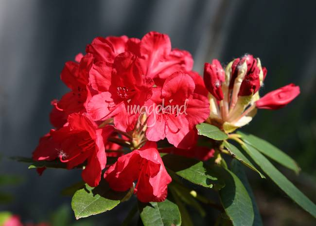 Beautiful red Rhododendron