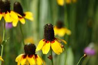 Yellow Blanket Coneflower