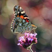 American Painted Lady Butterfly Square 2014