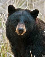 Black Bear closeup