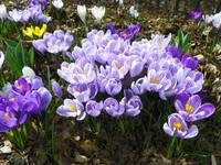 Colors of Crocus