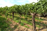 Washington Vineyard by Carol Groenen