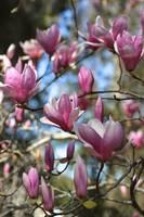 Magnolia Perspective by Carol Groenen