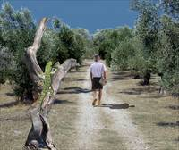 Loner arrives to an olive grove