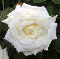 Rainy White Camellia Square by Carol Groenen
