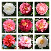 Beautiful Camellias Collage by Carol Groenen