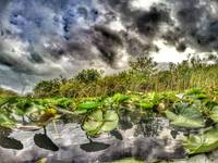 Lilly Pads in the Florida Everglades