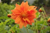 Orange Flower Blooming