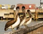 Pelican Meeting by Allen Sheffield