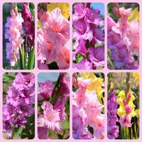Gladiolus in Pink Collage by Carol Groenen