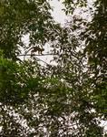 Monkey Overhead 2 by Allen Sheffield