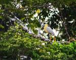 Yellow Egret by Allen Sheffield