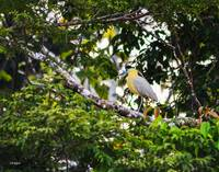 Yellow Egret