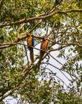 Macaws Overhead by Allen Sheffield