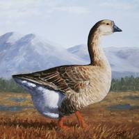 Chinese Brown Goose