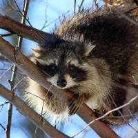 Young Raccoon in a Birch Tree by Karen Adams