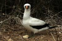 Nazca Boobie and Eggs