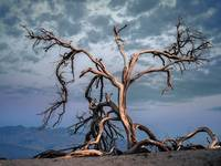 mesquite tree, death valley