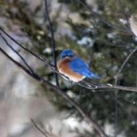 Bluebird and Finch in Winter by Karen Adams