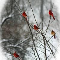 Cardinal Tree in Winter by Karen Adams