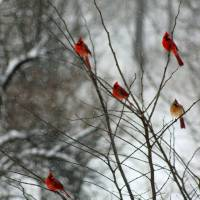 Cardinals in a Tree in Winter by Karen Adams