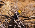 Yellow-headed Blackbird by Allen Sheffield