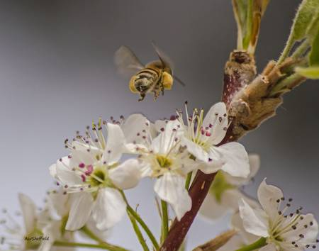Bee Working a Bradford Pear Tree 2