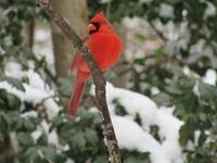 Majestic Northern Cardinal