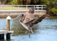 Pelican flying by Carol Groenen