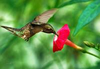 Hummingbird Sweet Satisfaction