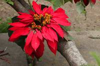 Poinsettia on a Tree
